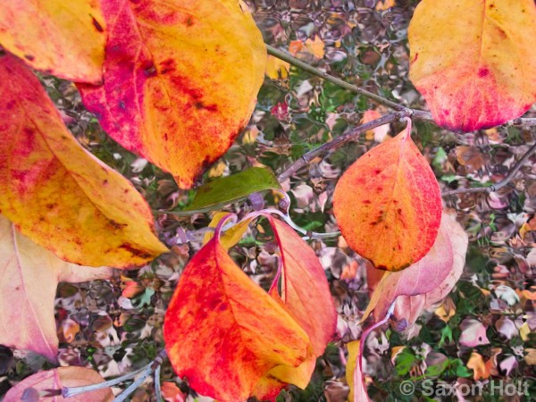 fall leaves2 of dogwood tree seen with detached retina