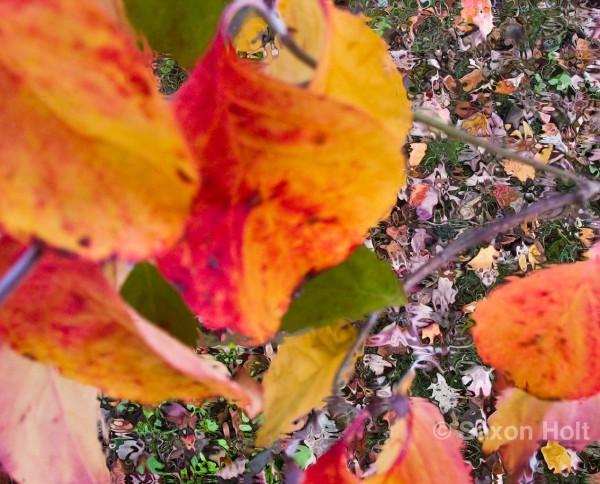 art - autumn leaves of dogwood tree detached retina