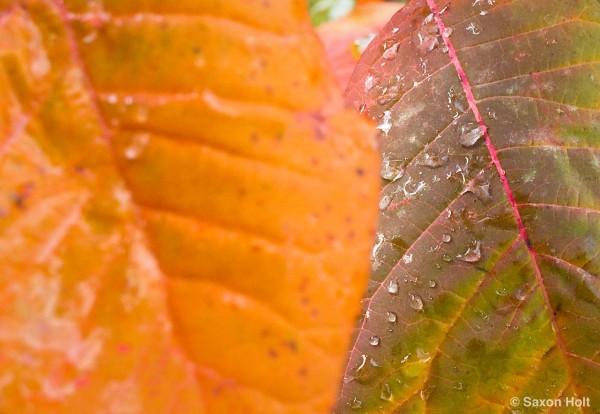 raindrops leaf Cotinus 'Grace'