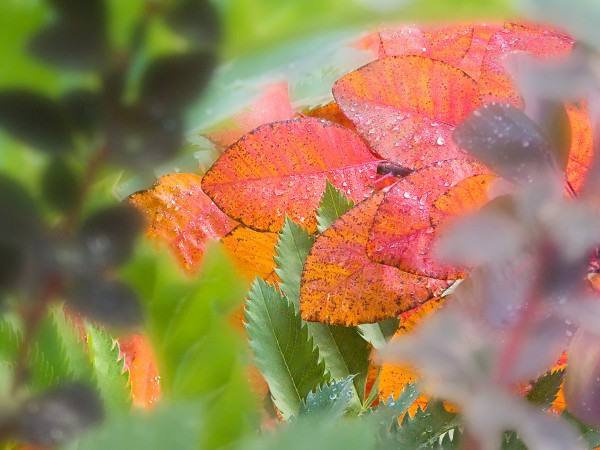 Cotinus leaf 'Grace' in fall foliage tapestry 1
