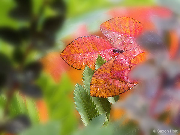 Cotinus 'Grace' leaves in fall foliage tapestry