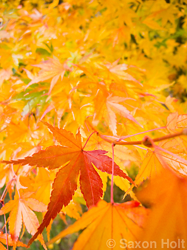 Japanese maple tree leaf in fall color - a