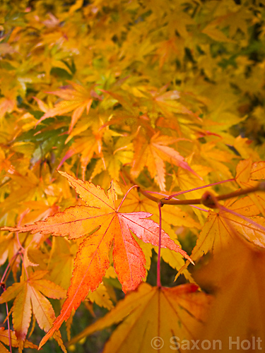 Japanese maple tree leaf in fall color - b