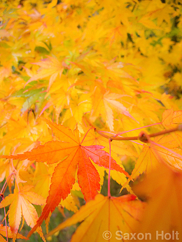 Japanese maple tree leaf in fall color - c