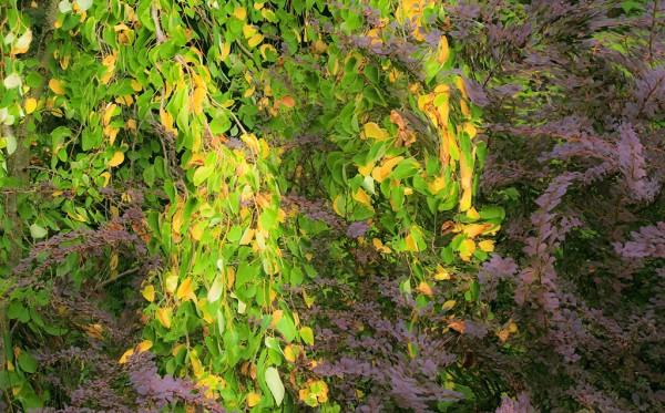 Katsura and Berberis - Foliage Tapestry Swirl