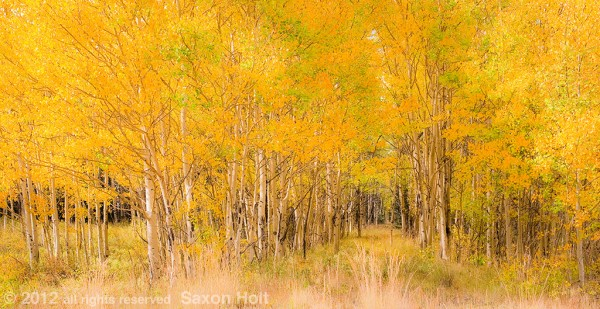 aspen grove autumn with abandoned road