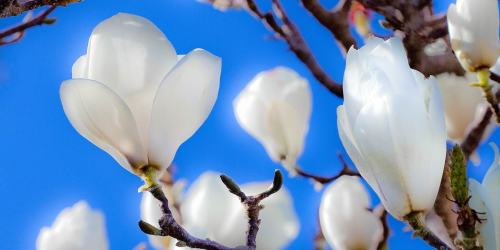 Interpretations – Magnolia Glow