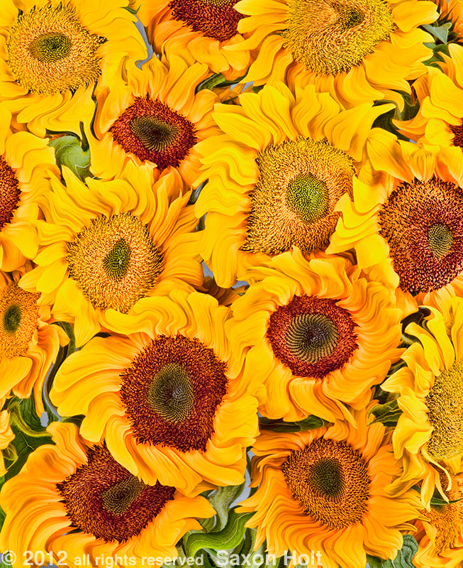 Sunflowers - 'Vincent' x Vincent