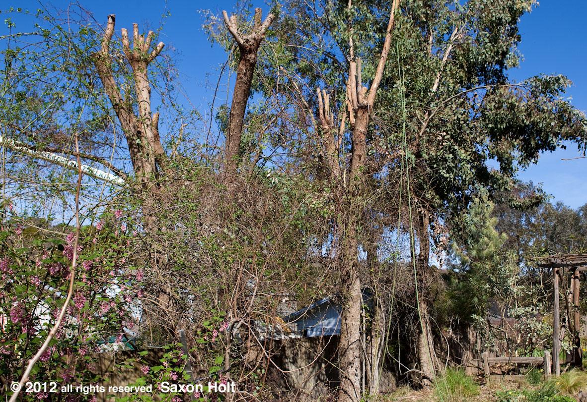 Planting Under Eucalyptus Trees : Rosa apple blossom photobotanic