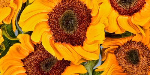 Sunflower 'Vincent'