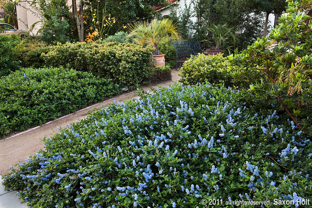 Ceanothus as native plant ground cover in front yard garden