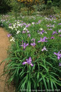 Bed of California native iris in Menzies garden.
