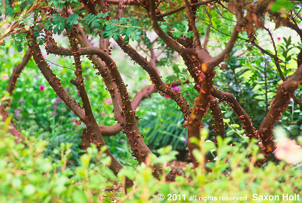 Manzanita shrub pruned to reveal its striking structure