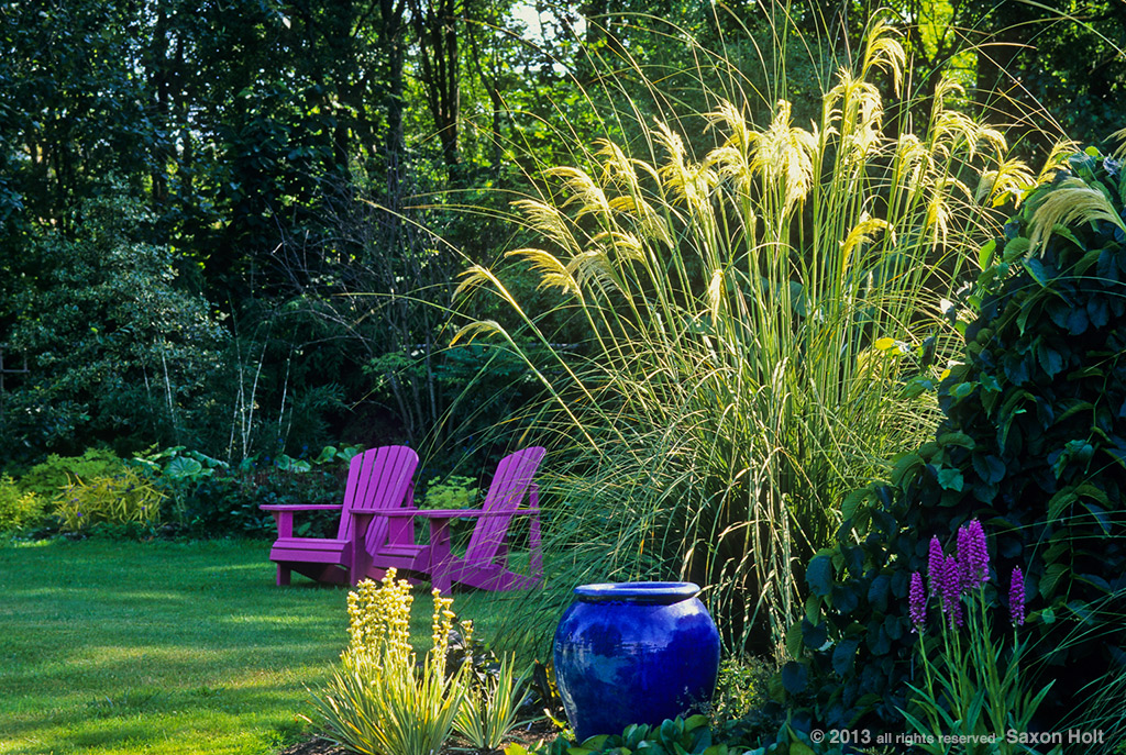 Cortaderia richardii, tall ornamental Pampas grass catching sunlight.  Garden of Linda Cochran