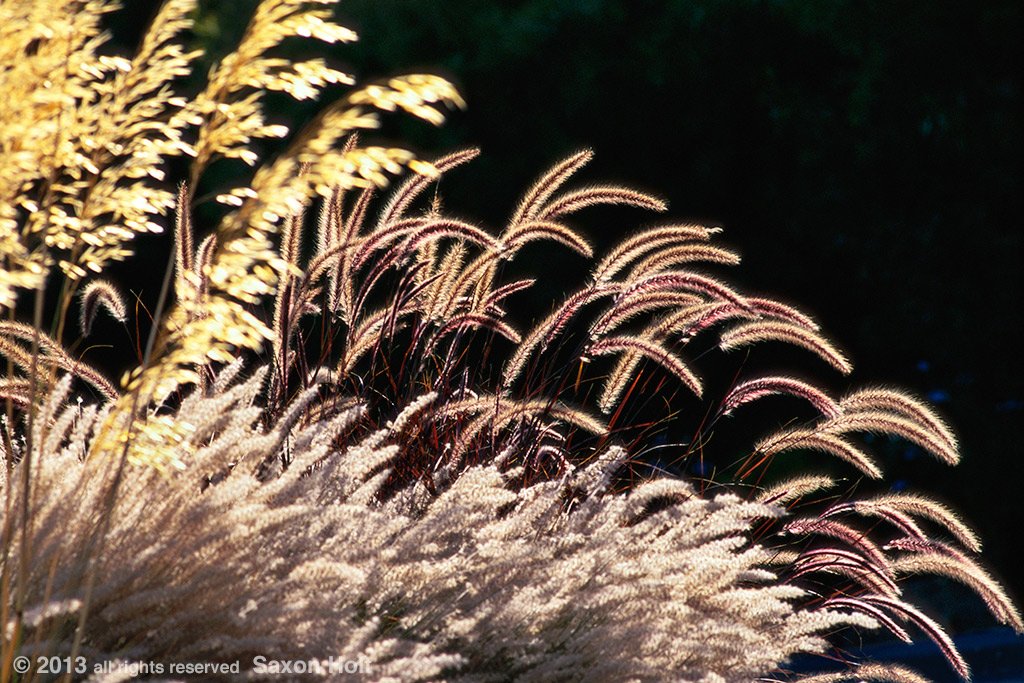 Grgrasses - pennisetum backlit