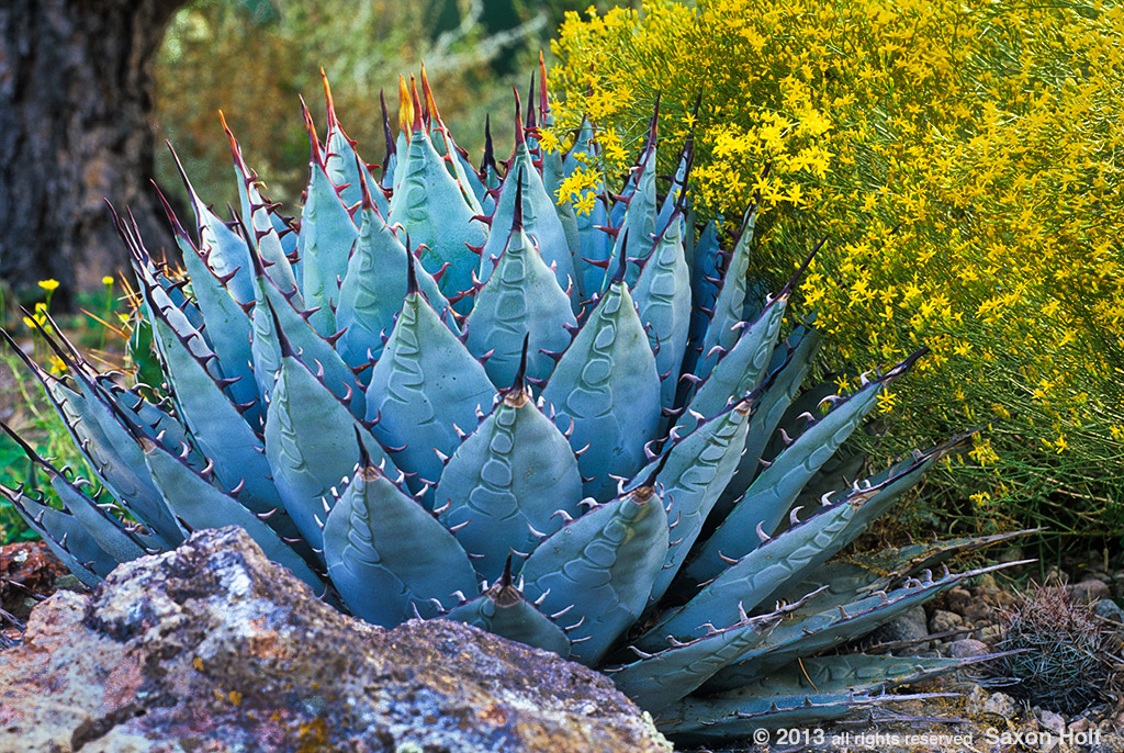 Agave parryi in Colorado garden