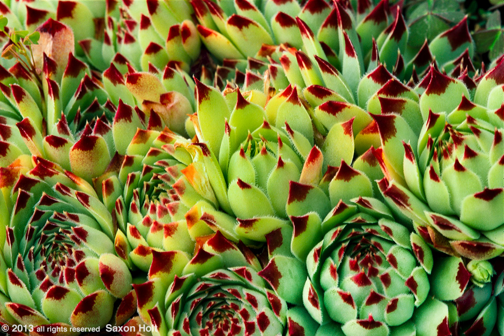 Drought tolerant hen and chicks hardy succulent Sempervivum 'Sir William Lawrence' with maroon tipped leaf
