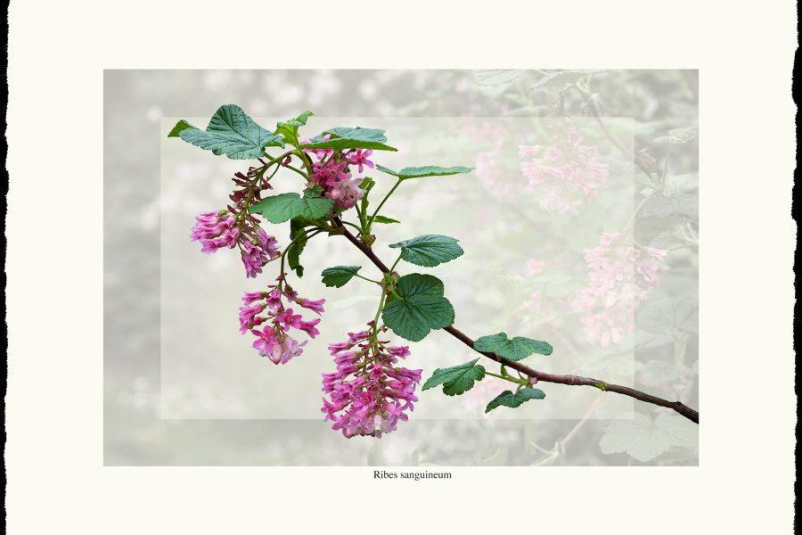 Ribes sanguineum art print