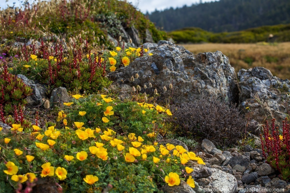 California native wildflowers on ocean bluff, Black Point at The Sea Ranch