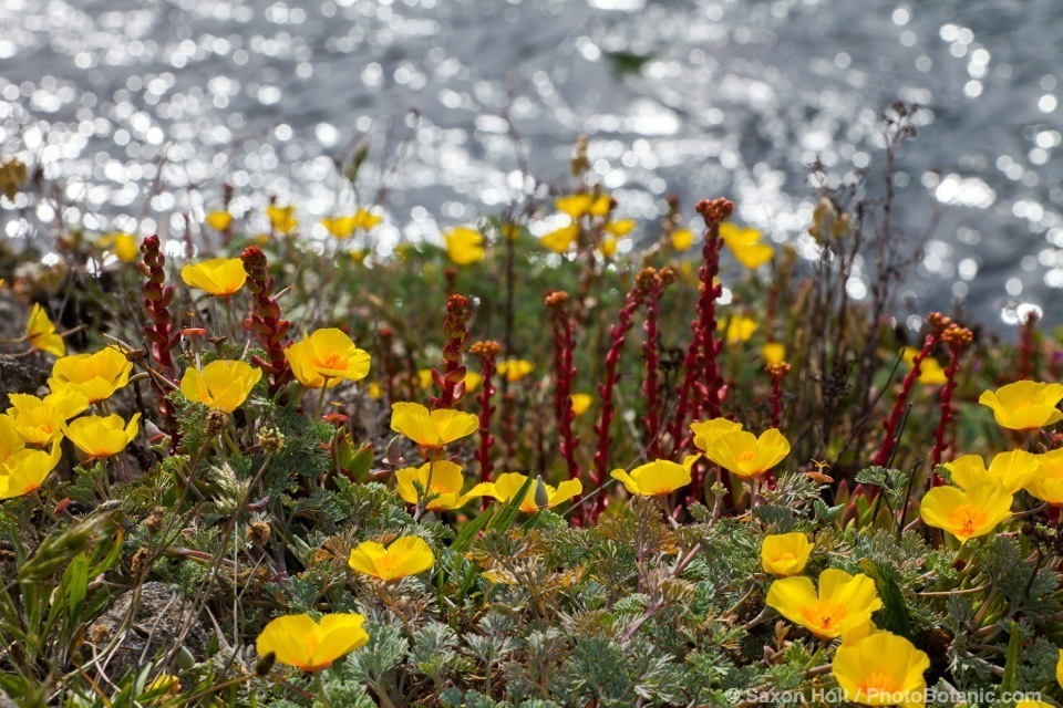 California native wildflowers Eschscholzia californica, yellow coastal form of California poppy at The Sea Ranch