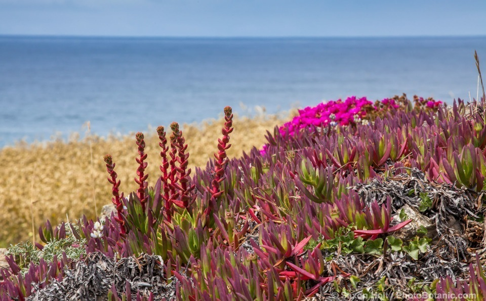 Carpobrotus chilensis - Sea Fig Ice Plant, invasive flowering succulent in coastal bluff at The Sea Ranch